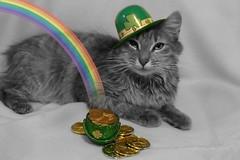 At the End of a Rainbow :)) (KrazyBoutCats) Tags: cats pets green animals gold rainbow kittens felines clover shamrock stpatricksday potofgold happystpatricksday