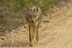 Coyote_020512 (3) (Gringovago) Tags: coyote southtexas riograndevalley lagunaatascosa