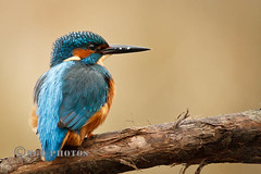 Kingfisher (Novisteel) Tags: birds spring flickr wildlife kingfisher ngdphotos