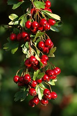 Généreusement ** (Titole) Tags: red green rouge berry berries vert hawthorn baies aubépine friendlychallenges titole nicolefaton