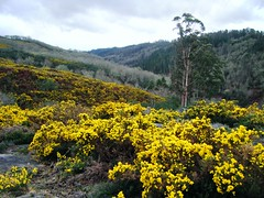 Toxos por TeresalaLoba (TeresalaLoba) Tags: spain hiking yellowflower galicia wildflowers fabaceae senderismo biodiversity gorse toxo tojo leguminosae biodiversidad ulexeuropaeus moscoso floressilvestres aliaga onm ajonc aulaga pazosdeborbn leguminosa floresamarillas chorima xorima florasilvestre gr58 sanadriandecalvos floragalega xunqueiras fornelosdemontes florecillasamarillas floradegalicia teresalaloba traspielas oitavn silvestresdegalicia delembalsedeeirasatraspielasporelriobarragn