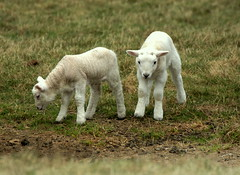 """We're a Couple of Swells!"" (SteveJM2009) Tags: uk cute field grass easter countryside spring twins couple babies sheep sweet pair young meadow dorset lamb lambs woolly stevemaskell easterparade"