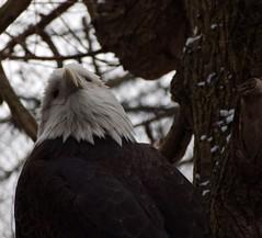 National Bird of The United States of America (btn1131 www.needGod.com) Tags: bird animals eagle bald olympus american epl1 mygearandme