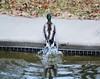 Water off a duck's back (howardj47) Tags: canon t3i howardj