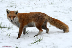 Red Fox on snow (Tony Margiocchi (Snapperz)) Tags: winter wild snow cold wildlife fox d3 redfox tonymargiocchi nikond3 peregrino27life