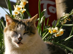 cat and narcissus (hamapenguin) Tags: flower animal cat neko 猫 straycat narcissus ネコ 水仙 野良猫 スイセン