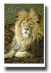 African Lion - Whipsnade Zoo 2011 (Jas Mahal) Tags: nature animal cat zoo nikon lion bigcat dslr whipsnade nikon70200mmf28 nikond7000 ronin237 highqualityanimals