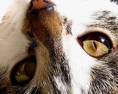 Cili - Here's looking at You (Szoki Adams) Tags: cats tabby kittens kitties felines greatnature