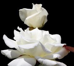 Roses in International Rose Test Garden (sandy richard) Tags: usa gardens oregon portland unitedstates sandyrichard sandrarichard