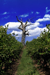 One Tree Hill (MDH Images.) Tags: yarravalley vineyards deadtrees treeswithoutleaves