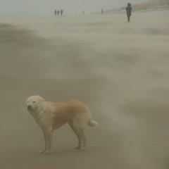 wind (Harry Mijland) Tags: dog max holland texel dearharry harrymijland