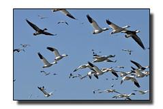 (Hold still) Tags: birds wetlands squawcreek nikond90 afsnikkor70300mm wintermigration adobephotoshopelements6 moundcitymissouri