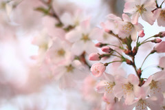 20120415_F0001: Pink blossom, blossom and more blossom (wfxue) Tags: flowers tree nature cherry blossom plum petal stamen bloom cherryblossom pollen biology stigma filament plumblossom blooming prunus anther