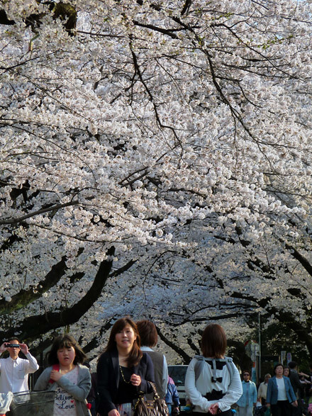 Yanaka sakura