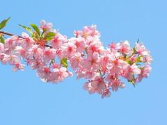 Winter Sakura (Muchan5) Tags: pink flowers flower nature japan spring nikon sakura wintersakura mygearandmesilver mygearandmegold mygearandmeplatinum mygearandmediamond ringexcellence nikonp300
