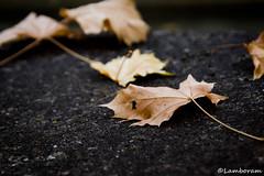 Fall (Lamboram) Tags: autumn fall maple colorsoflife sonydslr