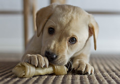 Puppy (mdalsgaard) Tags: portrait dog pet cute dogs puppy puppies cuteeyes dogportrait hvalp hundehvalp canonef50mm118 canon7d