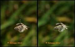 300699 (fotoopa) Tags: macro mirror stereoscopic stereophotography 3d crosseye crosseyed fotografie flight stereo thuis highspeed insecten crossview 3dimage 3dphotography 3dphoto opnames 3dmacro 3dpicture 3dfotografie highspeedmacro fotoopa 3dfoto frontmirror dslrstereo frontsidemirror 3dinsects crosseyedphotography 3dbeelden 3dfotoinsecten 3dbeestjes 3dinsecten