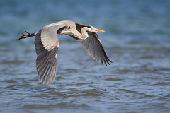 Skimming Heron (Jeff Dyck) Tags: blue heron birds texas great lamar greatblueheron bif birdinflight ardeaherodias skimming coth jeffdyck coth5