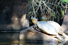 Banho de sol (Thiago Souto) Tags: lake water animal gua fauna lago turtle interior sony group sunbath sp grupo alpha creature tartaruga bicho cgado a77  criatura ribeiropreto banhodesol parquecurupira quelnio 77 parqueluizrobertojbali
