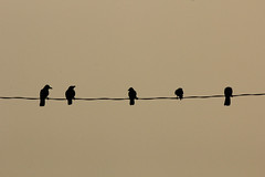 birds of same feather, flocks together (sjrokz) Tags: life sunset maowa