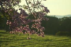 Paneireira (6744) (Jorge Belim) Tags: flora flor árvore 70200 canoneos50d
