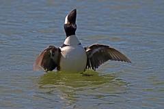 Hooded Merganser, RSPB Radipole Lake (Martin F Hughes) Tags: uk southwest slr birds canon eos martin birding dorset birders hughes avian hooded merganser twitcher 500d 100400 martinhughes