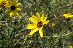 Encelia californica (Weeding Wild Suburbia) Tags: park gardens places publicgardens spnp