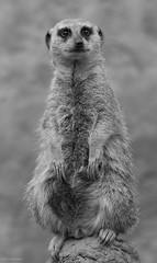 ZQ-2014-04-18-0606.jpg (bimmerzita) Tags: meerkat cheyennemountainzoo
