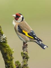 Goldfinch (Margaret S.S) Tags: bird european goldfinch