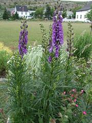 Aconitum napellus Monkshood (uacescomm) Tags: plant gerald week horticulture monkshood klingaman universityofarkansassystemdivisionofagriculture