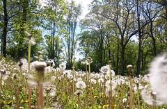 IMG_7947 (kween_beek) Tags: nature wisconsin outdoors weed dandelion wish wildflower wi