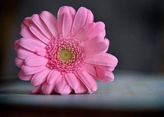 (bedders89) Tags: pink flower english gerbera solo daisy bexley