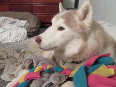 Katie as a dowager dog :-) 5 May 2016 (kaibluedncr) Tags: dogs husky huskies