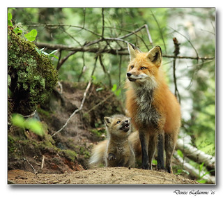 1E1A5389-DL  -  Maman et son petit renardeau / Mom and her young fox.