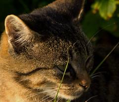 IMG_6030 (Lightcatcher66) Tags: florafauna makros katzencats lightcatcher66