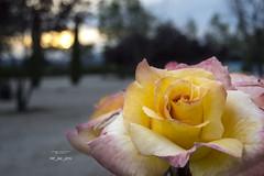 145_2016_5930 (Jos Martn-Serrano) Tags: proyecto proyecto366 365 366 proyecto365 flor flores rosa puestadesol