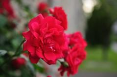 Juuni (anuwintschalek) Tags: red roses summer rot june rose austria sommer roos 40mm rosen niedersterreich suvi 2016 wienerneustadt micronikkor punane roosid nikond90 nepomukplatz tokkroosid