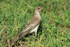 White-winged Triller (Janis May) Tags: locations eastpoint smallbirds variedtriller