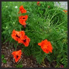 aprs les pavots fleuriront les grandes achilles (Claudie K) Tags: rouge noir vert brf delle lavoir jardinet recadrage pavots fleurissement achillefilipendule voielentie