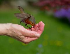 Greedy Robin (Mukumbura) Tags: robin bird hand suet pellets food birdfood feeding garden nature trust green fingers thumb europeanrobin erithacusrubecula robinredbreast