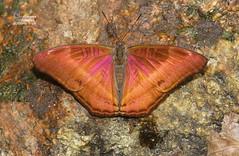 The Gray Commodore -  (Antonio Giudici Butterfly Trips) Tags: thailand butterflies lepidoptera chiangmai doisuthep nymphalidae limenitidinae thegraycommodore  bhagadattaaustenia