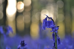 Bluebells (C-Smooth) Tags: flowers macro beauty bluebells forest woodland nikon bokeh hyacinthoidesnonscripta csmooth d3100 stefanocabello