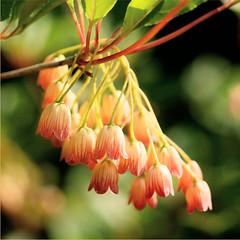 bells............. (atsjebosma) Tags: pink flowers macro bells garden bokeh ngc may thenetherlands mei tuin groningen bloem 2016 atsjebosma coth5