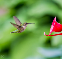 First hummingbird of the year (Mike Matney Photography) Tags: 2016 canon eos7d illinois may midwest troy backyard bird birds hummingbird nature wildlife unitedstates us