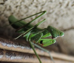 Mean in Green (priesty1) Tags: mantis