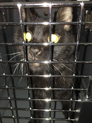 Assam Behind Bars (sjrankin) Tags: california animal northerncalifornia cat blurry cage assam carrier 20may2016