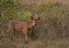 Roe-Deer-1692 (Kulama) Tags: morning nature wildlife deer roedeer thursleyreserve