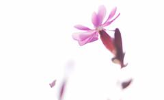 The Unbearable Lightness Of Being (Coquine!) Tags: pink light flower macro up closeup licht close rosa highkey lightness nahaufnahme gegenlicht christianleyk