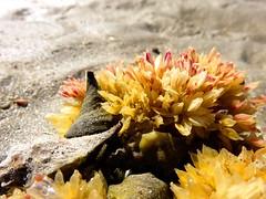 IMG_0207 (Tina A Thompson) Tags: sonora seashells mexico sealife seashell marinebiology tidepools seaofcortez marinelife chollabay mexicobeaches chollabaymexico